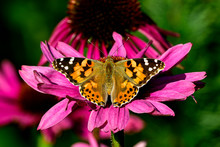 Painted Lady Butterfly, One Of...