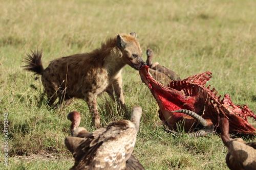 Tablou Canvas Spotted hyena feeding on a fresh carcass, Masai Mara National Park, Kenya