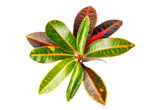 Codiaeum Variegatum (garden Croton Or Variegated Croton) Foliage, Croton Leaves On Branch Isolated On White Background With Clipping Path