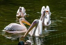 White Pelicans Birds In A Pond...