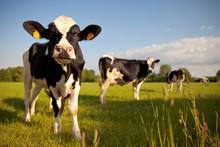 Troupeau De Vaches Laitière En Campagne