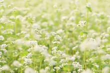 そば畑の蕎麦の花