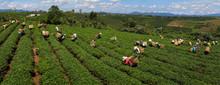 Tea Pickers, Central Highlands, Vietnam