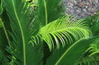 grüne Palmenblätter in Croatien