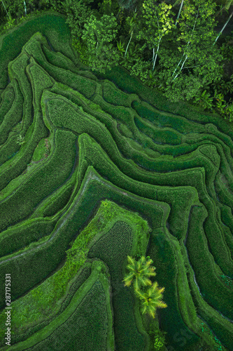 Garden Poster Rice fields Aerial view of Tegallalang Bali rice terraces. Abstract geometric shapes of agricultural parcels in green color. Drone photo directly above field.