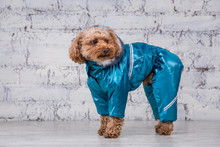 Small Funny Dog Of Brown Color With Curly Hair Of Toy Poodle Breed Posing In Clothes For Dogs. Subject Accessories And Fashionable Outfits For Pets. Stylish Overalls, Suit For Cold Weather For Animal
