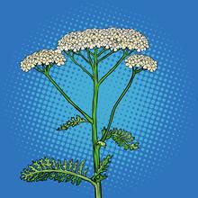 Yarrow Milfoil Flower Medicina...