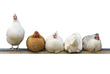 Five Different Chickens Sit And Roost. Whit Background