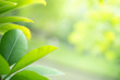 canvas print picture - Closeup view of green leaves with beauty bokeh under sunlight.