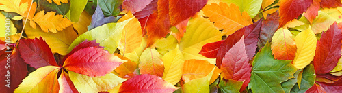 Obraz Beautiful colorful autumn leaves on ground, falling autumn leaves in forest - fototapety do salonu