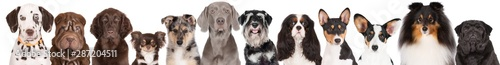 Foto group of dogs portraits on white background