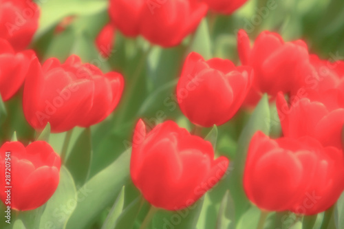 a Colorful Tulip Field with hk flower show Canvas Print