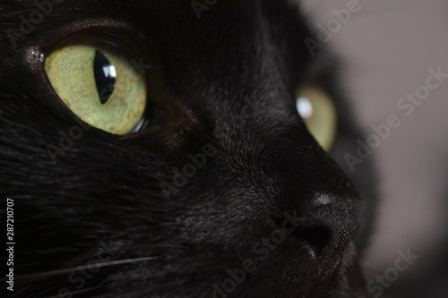Poster Panter Close up portrait of a black kitten