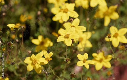 Fototapeta  Bidens jaune or (Bidens ferulifolia)