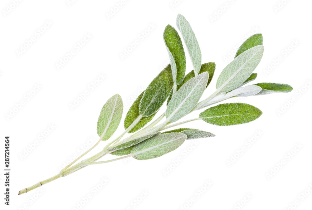 Fototapety, obrazy: green twig of sage (salvia officinalis) isolated