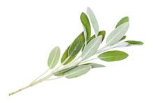 Green Twig Of Sage (salvia Off...