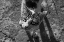Beautifuk Croatian Cat In Black And White With Perfect Focus