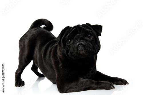 Canvastavla  Playful black pug staring to the camera