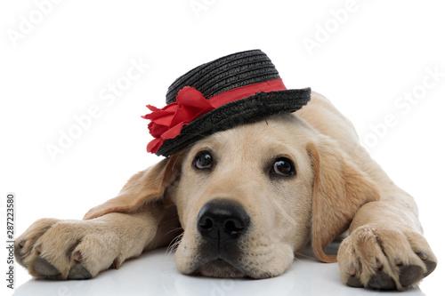 fototapeta na ścianę tired labrador retriever puppy wearing a black and red hat