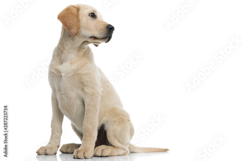 Tela full body picture of a labrador retriever puppy looking away