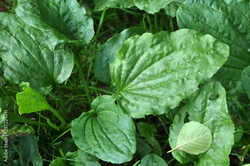 In nature, the plantain is growing Fototapeta