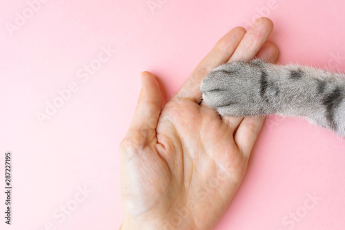 Obraz Gray striped cat's paw and human hand on a pink background. The concept of friendship of a man with a pet, caring for animals. Minimalism, feed on top, place for text. - fototapety do salonu