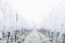Snow Covered Vineyard In The Winter After A Freezing Rain Storm In Winter And On One Day With A Fog. Winter Frosty Vineyard Landscape Covered By White Flake Ice.