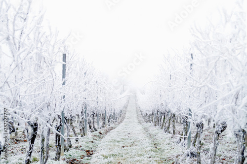 Pinturas sobre lienzo  Snow covered vineyard in the winter after a freezing rain storm in winter and on one day with a fog