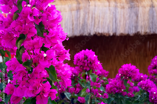 Canvas Print Exotic plant bougainvillaea