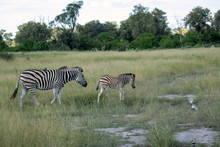 Mother Zebra With An Oxpecker ...