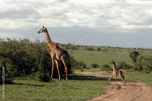 Wide shot of mommy and baby giraffes near a bush in a grass field Wallpaper Mural
