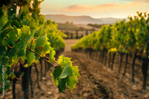 Beautiful sunset over vineyards.