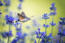 Thehummingbird Hawk-moth, Ma...