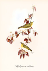 Panel Szklany Ptaki Two cute yellowish little birds aon a single isolated branch full of red leaves. Old detailed illustration of Wood Warbler (Phylloscopus sibilatrix). By John Gould publ. In London 1862 - 1873