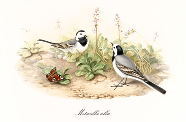 Fototapeta Vintage Two little black and white birds on a natural ground. Old detailed hand colored illustration of White Watgail (Motacilla alba). By John Gould publ. In London 1862 - 1873