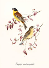 Two Yellow Tones Birds On Two Isolated Pinkyish Leafed Branches. Detailed Hand Colored Old Illustration Of Black-Headed Bunting (Emberiza Melanocephala). By John Gould Publ. In London 1862 - 1873