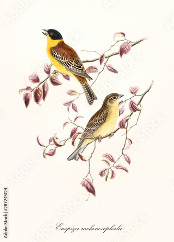 Photo Two yellow tones birds on two isolated pinkyish leafed branches