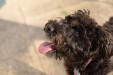 Cute Dog Looking Up At Owner Schnoodle Poodle Mix