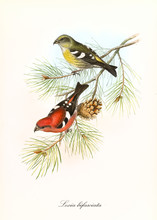 Yellow And Red Parrots On A Single Isolated Pine Branch. Hand Colored Vintage And Detailed Illustration Of Two-Barred Crossbill (Loxia Leucoptera). By John Gould Publ. In London 1862 - 1873