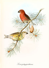 Two Little Yellow And Red Parrots On A Single Pine Branch Over A White Background. Hand Colored Vintage Illustration Of Parrot Crossbill (Loxia Pytyopsittacus). By John Gould, London 1862 - 1873