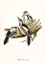 Woodpeckers Family Making Their Nest In A Empty Bark. Isolated Vintage Style Illustration Of White-Backed Woodpecker (Dendrocopos Leucotos). By John Gould Publ. In London 1862 - 1873