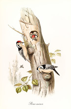 Couple Of Woodpeckers On A Trunk And Their Children In The Hole Nest. Vintage Style Vertical Illustration Of Lesser Spotted Woodpeaker (Dryobates Minor). By John Gould Publ. In London 1862 - 1873