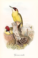 Light Green Woodpecker With A Red Crest On A Trunk. Vintage Hand Colored Style Illustration Of European Green Woodpecker (Picus Viridis). By John Gould Publ. In London 1862 - 1873