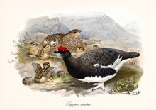 Partridge Family On A Mountain Landscape. Vintage Style Hand Colored Illustration Of Rock Ptarmigan (Lalopus Muta) Summer Plumage. By John Gould Publ. In London 1862 - 1873