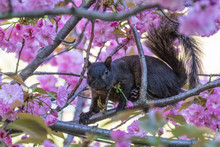 Squirrel In Cherry Blossom Tree