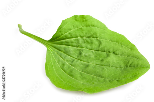 Photo greater plantain leaf
