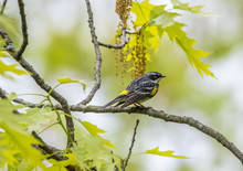 Yellow Rumped Warbler Perched ...