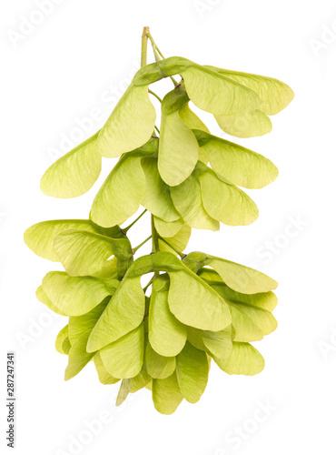 Cuadros en Lienzo Green Maple fruits