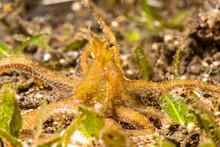 Mimic Octopus In Tulamben Indonesia