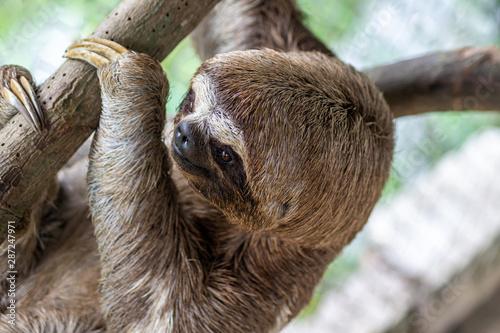 Sloth Brown-throated, slow animal (Bradypus variegatus) Animal face close up